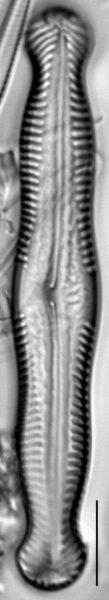 Pinnularia nodosa var percapitata LM5