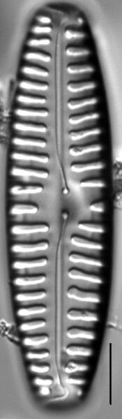 Pinnularia rabenhorstii LM3