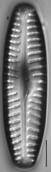 Pinnularia rabenhorstii LM4