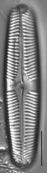 Pinnularia rhombarea LM1