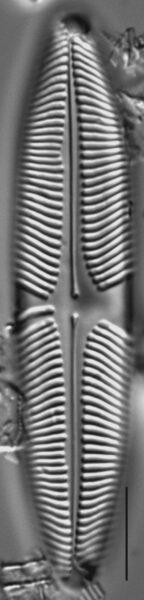 Pinnularia suchlandtii LM3