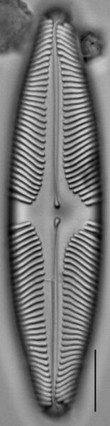 Pinnularia suchlandtii LM7