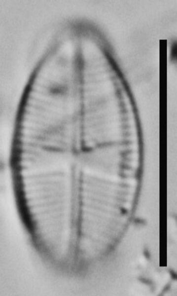 Psammothidium rossii LM6