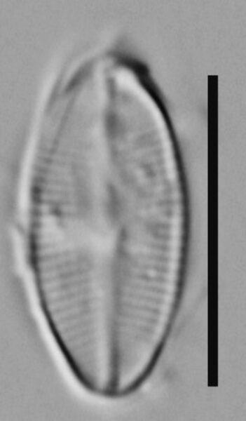 Psammothidium rossii LM4