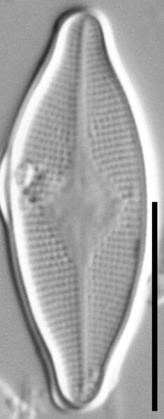 Psammothidium Rossii LM