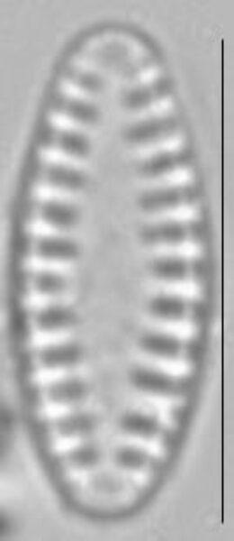 Pseudostaurosira brevistriata LM5