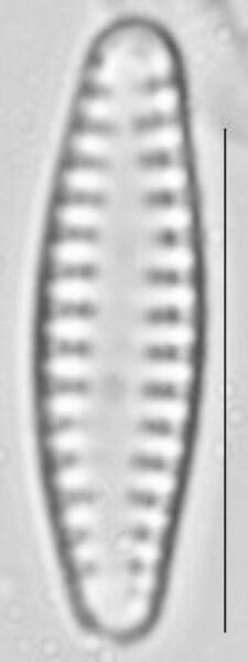 Pseudostaurosira neoelliptica LM1