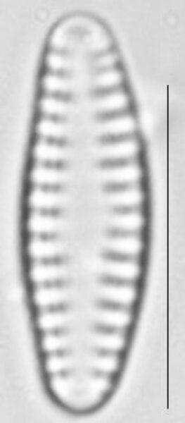Pseudostaurosira neoelliptica LM4