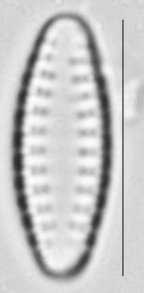 Pseudostaurosira neoelliptica LM3