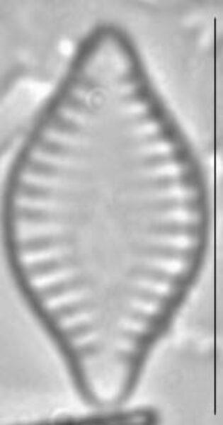 Pseudostaurosira parasitica LM4