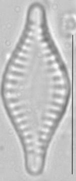 Pseudostaurosira parasitica LM3