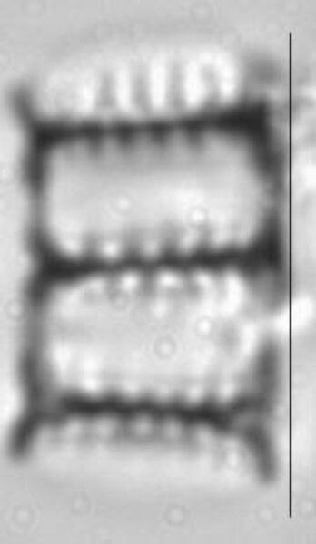 Pseudostaurosira trainorii LM2