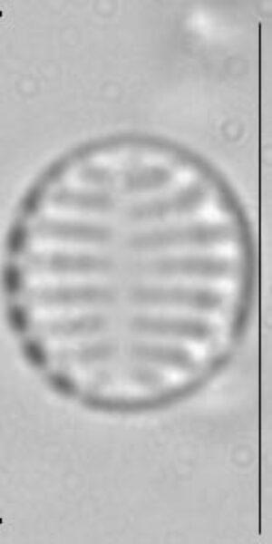 Pseudostaurosira trainorii LM1