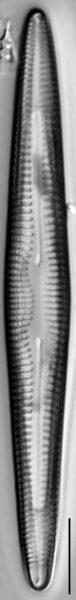 Rhoicosphenia stoermeri LM7