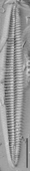 Rhoicosphenia stoermeri LM5