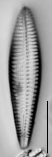 Rhoicosphenia stoermeri LM1