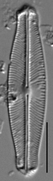 Sellaphora auldreekie LM1