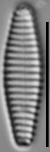 Stauroforma exiguiformis LM2