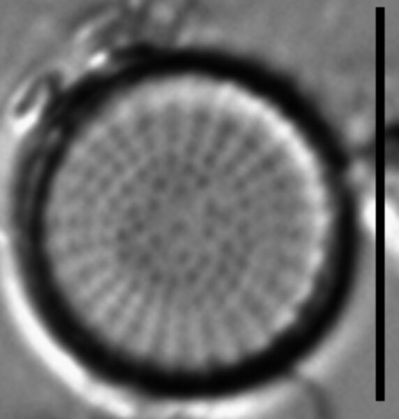 Stephanodiscus minutulus LM3