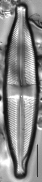 Stauroneis absaroka LM3