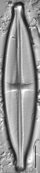 Stauroneis amphicephala LM4