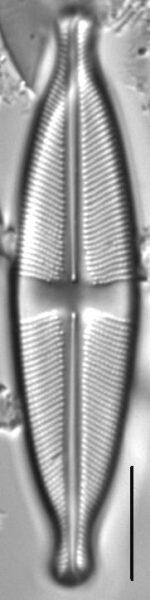 Stauroneis ancepsfallax LM1