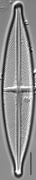Stauroneis angustilancea LM1