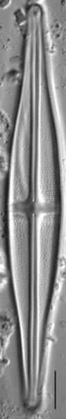 Stauroneis baconiana LM4