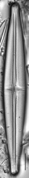 Stauroneis beeskovea LM1