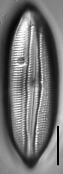 Scoliopleura peisonis LM6