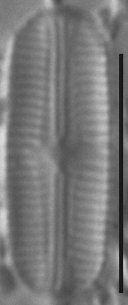 Sellaphora stroemii LM1