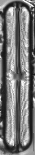 Sellaphora alastos LM1
