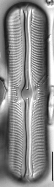 Sellaphora alastos LM2