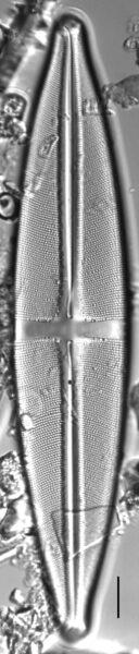 Stauroneis heinii LM5