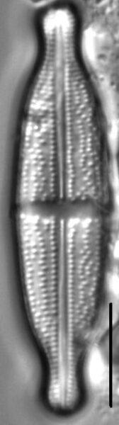 Stauroneis lauenburgiana LM5