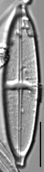 Stauroneis livingstonii LM5