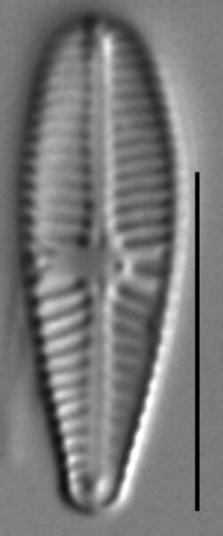 Gomphosinica geitleri LM4