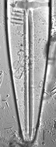 Stauroneis rex LM7