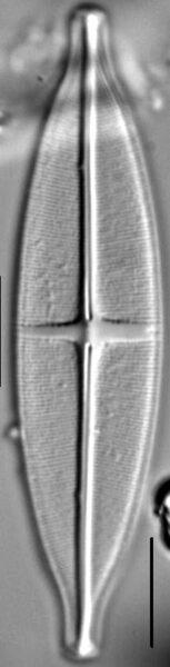 Stauroneis siberica LM5