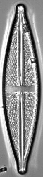 Stauroneis sonyae LM2