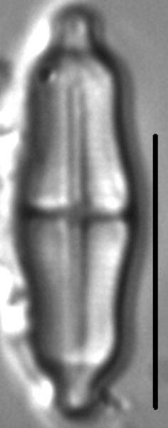 Stauroneis separanda LM5