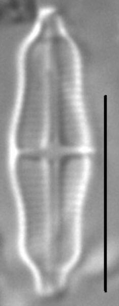 Stauroneis separanda LM4