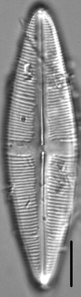 Staurophora amphioxys LM1