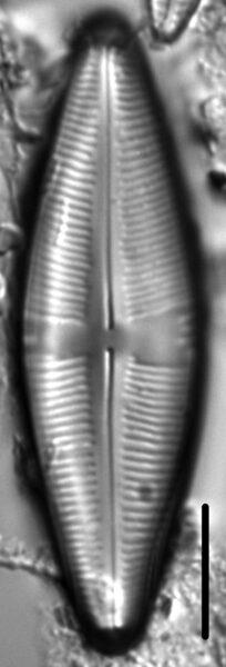 Staurophora amphioxys LM2