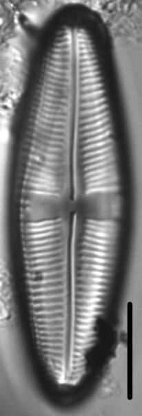 Staurophora amphioxys LM5