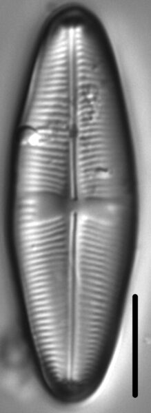 Staurophora amphioxys LM6