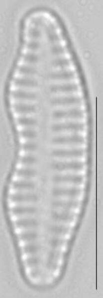 Staurosira construens var binodis LM4
