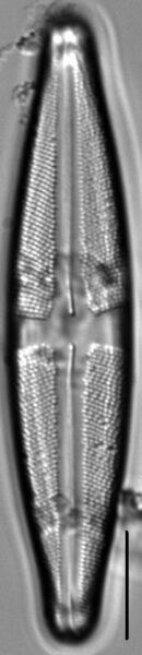 Stauroneis sacajaweae LM4