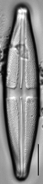 Stauroneis sacajaweae LM3
