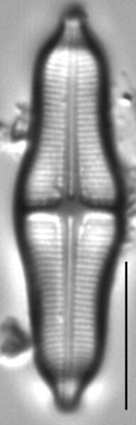 Stauroneis smithii LM6